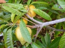 Canistle (yellow Sapote cv Bruce)