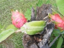 Pitaya fruits Taravao