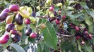 Ripening Java plums
